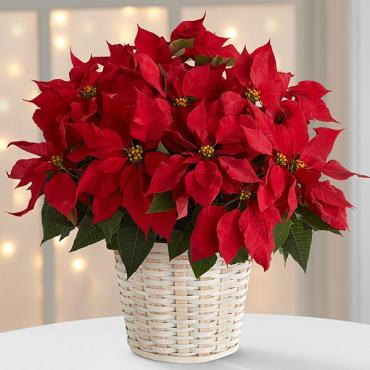 The Red Poinsettia Basket - large